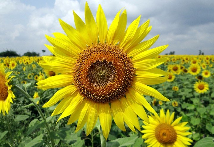 50 Important uses of sunflower leaves