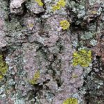 Uses of lichens