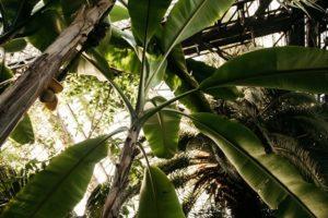 Medicinal uses of banana leaves