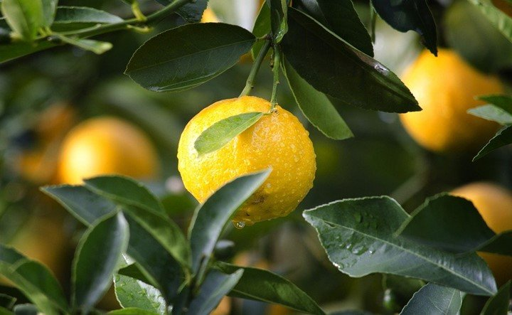 25 Uses of lemons