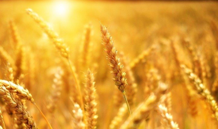 10 uses of wheat